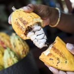 Different Kinds of Cacao